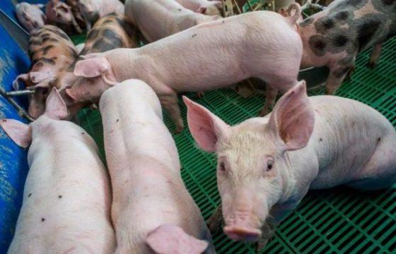 Ungaria a cerut Comisiei Europene măsuri urgente pentru stoparea crizei din sectorul de creștere a porcului